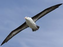 Black-browed albatross (Diomedea melanophris). Flying near Saunders Island, Falkland Islands Stock Images