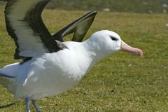 Black-browed albatross (Diomedea melanophris) Royalty Free Stock Images