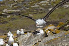 Black-browed albatross (Diomedea melanophris)