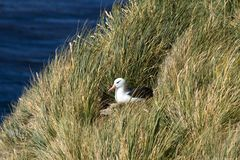 Black-browed albatross (Diomedea melanophris) Stock Photography