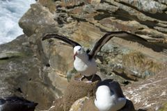 Black-browed albatross (Diomedea melanophris) Stock Image