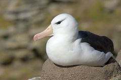 Black-browed albatross (Diomedea melanophris) Royalty Free Stock Photos