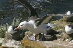 Black-browed albatross (Diomedea melanophris) Stock Photos