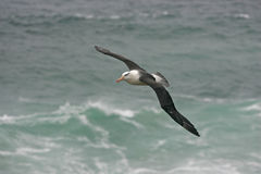 Black-browed albatross, Diomedea melanophris Stock Images
