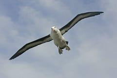 Black-browed albatross, Diomedea melanophris Stock Photography