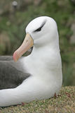 Black-browed albatross, Diomedea melanophris Stock Photos