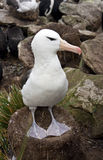 Black-browed Albatross - Falkland Islands Royalty Free Stock Image
