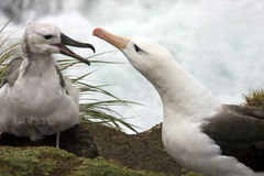 Black-browed Albatross - Falkland Islands. Adult Black-browed Albatross with fledgling (Thalassarche melanophrys) - at 'The Rookery' on Saunders Island in West Stock Image