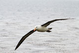 Black-browed Albatross Stock Image