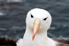 Black-browed Albatross Royalty Free Stock Photo