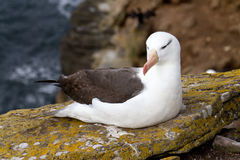 Black-browed Albatross Royalty Free Stock Photography
