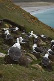 Black-browed Albatross in the Falkland Islands Royalty Free Stock Photos
