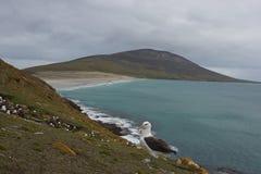 Black-browed Albatross in the Falkland Islands Stock Image