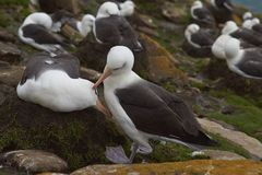 Black-browed Albatross in the Falkland Islands Stock Photo