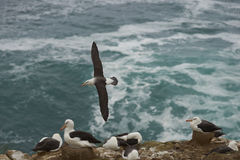 Black-browed Albatross - Falkland Islands Royalty Free Stock Photography