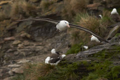 Black-browed Albatross - Falkland Islands Royalty Free Stock Photo
