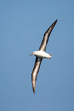 Black browed Albatross in flight against clear blue sky Stock Images