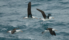 Black-browed Albatross Group Stock Image