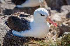 Black-browed albatross lying on nest in colony Royalty Free Stock Photo