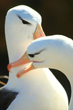 Black browed albatross mates Stock Images