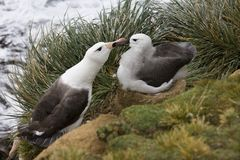 Black-browed Albatross mother and young - Falklands Islands royalty free stock photography