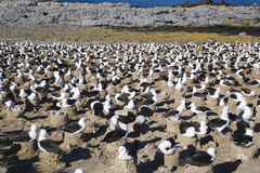 Black-browed Albatross nesting area Royalty Free Stock Photo