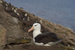 Black-browed Albatross nesting - Falkland Islands. Black-browed Albatross Thalassarche melanophrys sitting on a nest on the cliffs of Saunders Island in the Stock Image