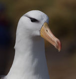 Black-browed albatross portrait Royalty Free Stock Photography