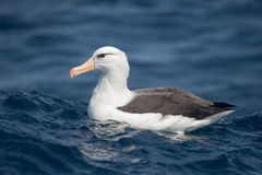 Black browed Albatross resting on the sea. An adult Black-browed Albatross Thalassarche melanophrys resting on a blue sea, South Africa royalty free stock photography