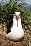 Black browed albatross Saunders Island Royalty Free Stock Photo