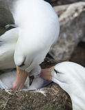 Black browed albatross Saunders Island Stock Images