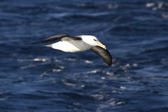 Black-browed Albatross soaring above the waters of the Atlantic Royalty Free Stock Photography