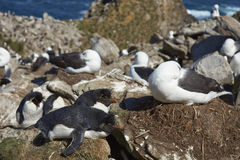 Black-browed Albatross and Southern Rockhopper Penguins Nesting Together Royalty Free Stock Photo