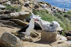 Black Browed Albatross, thalassarche melanophris, Falkland Islands Stock Image