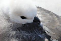Black Browed Albatross, thalassarche melanophris, Falkland Islands Stock Photo
