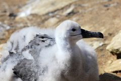 Black Browed Albatross, thalassarche melanophris, Falkland Islands Stock Images
