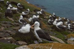 Black-browed Albatross in the Falkland Islands Royalty Free Stock Photo