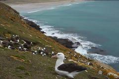 Black-browed Albatross in the Falkland Islands Stock Photos
