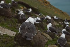 Black-browed Albatross in the Falkland Islands Stock Photography