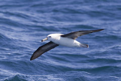 Black browed Albatross Royalty Free Stock Image