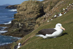 Black-browed Albatross Thalassarche melanophrys. Sitting on a grassy slope on the cliffs of Saunders Island in the Falkland Islands Royalty Free Stock Photo