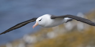 Black-browed Albatross on the Wing. A Black-browed Albatross in flight over its colony - Falklands stock photos