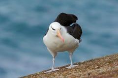Black-browed albratros, Thalassarche melanophris, beautiful sea bird sitting on the cliff, dark blue water in the background, Falk Stock Photo