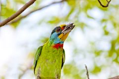 Black-browed Barbet a bird Royalty Free Stock Images