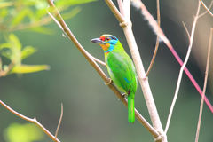 Black-browed Barbet. (Megalaima oorti) in Sumatra, Indonesia Stock Photos