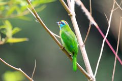 Black-browed Barbet Royalty Free Stock Photos