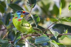 Black-Browed Barbet. Taking a good place to have great view of surrounding Royalty Free Stock Image