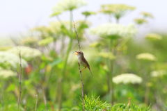 Black-browed reed-warbler Royalty Free Stock Images