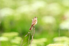 Black-browed reed-warbler Royalty Free Stock Photos
