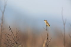 Black-browed Reed Warbler Stock Photo